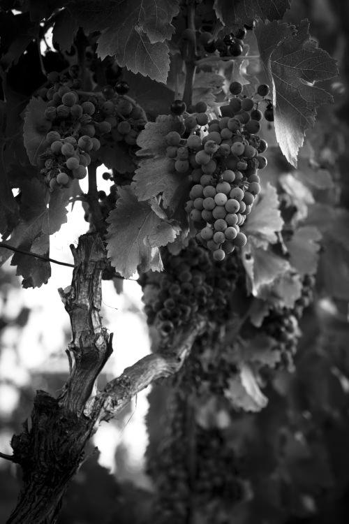 Foto in bianco nero grappolo d'uva