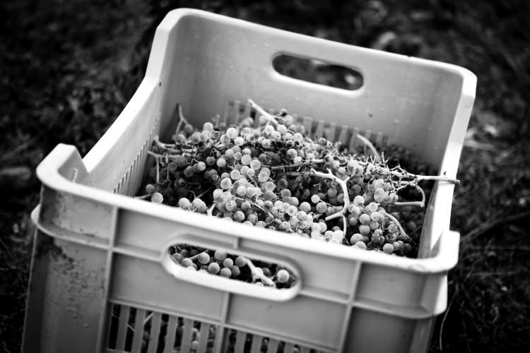 cassetta d'uva in bianco e nero