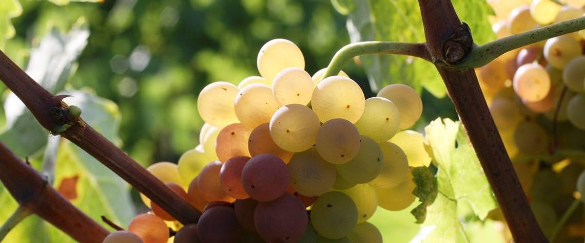 vitigni e vini naturali