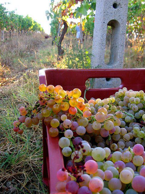 Vendemmia-Cassetta d'uva