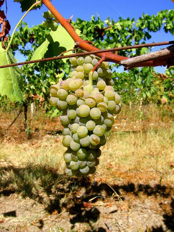 Grappolo uva bianca matura