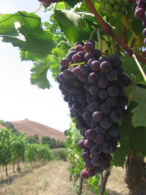 Grappolo uva matura