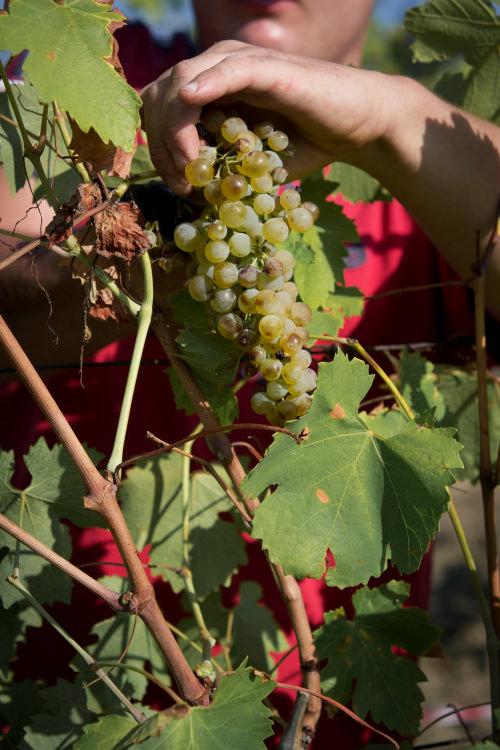 Raccolta grappolo d'uva bianca