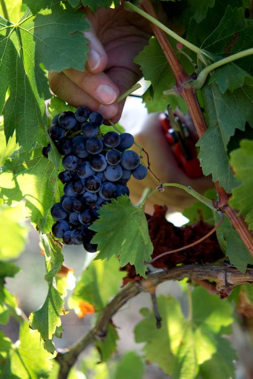 Raccolta grappolo d'uva rossa