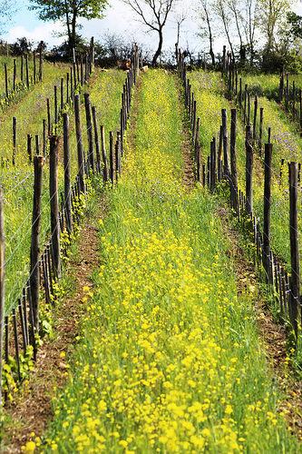 vitigno e fiori di campo