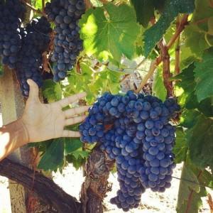 Mano che raccoglie grappolo d'uva