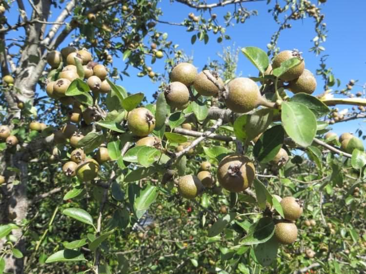 Pero selvatico in frutto