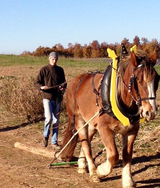 Preparazione al lavoro cavallo da tiro